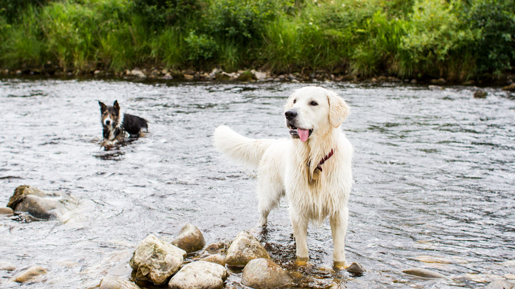 Dogs at Liddel Water, near Abbotshaw House, Scottish Borders