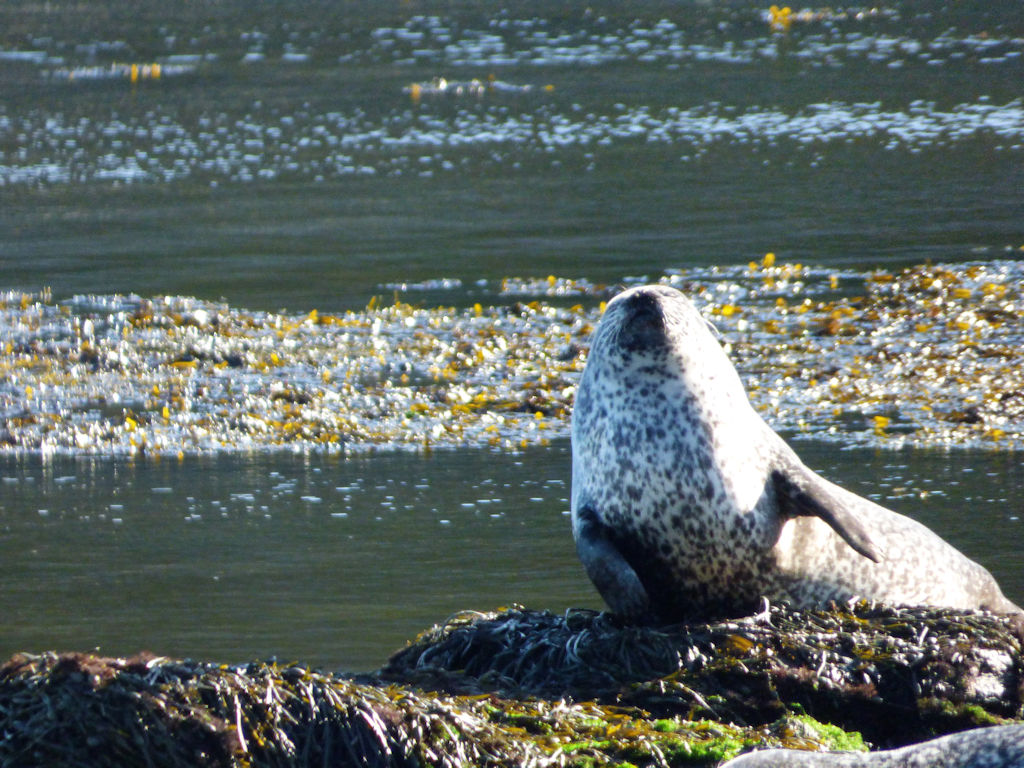 Seal in Caithness