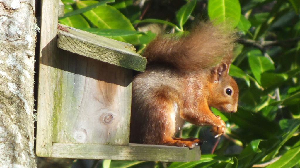 Red squirrel at Pottery House Loch Ness B&B
