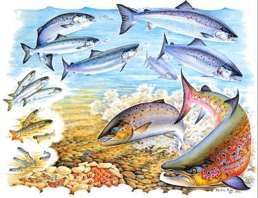 Salmon life cycle diagram
