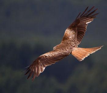 red kite in Dumfriesshire