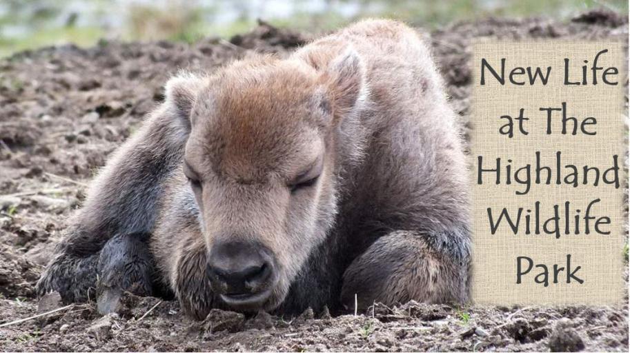 New Life at The Highland Wildlife Park