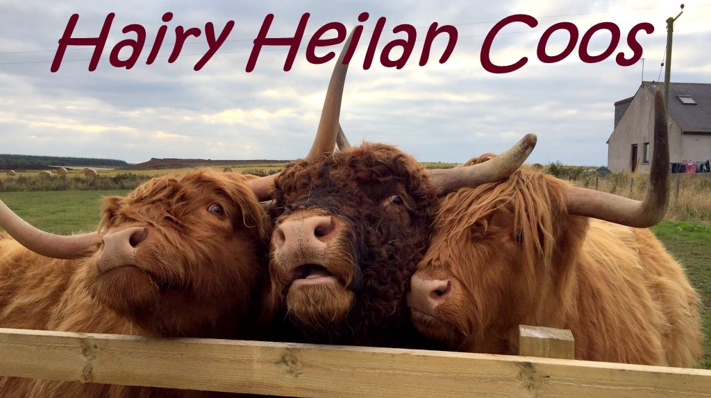 Hairy Heilan Coo Blog