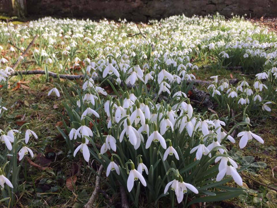Snowdrops, Northlands B&B, Pitlochry
