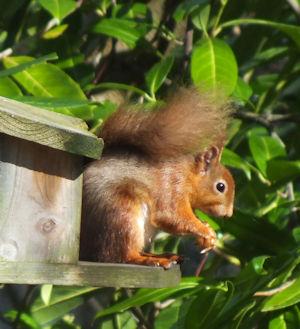 Red squirrel Scotland